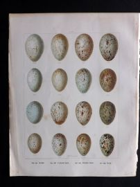 Frohawk 1898 Bird Egg Print. Raven, Carrion Crow, Hooded Crow, Rook